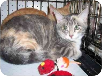 Domestic Shorthair Cat for adoption in Frenchtown, New Jersey - Lily