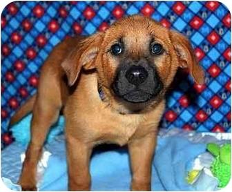 Shepherd (Unknown Type)/Rhodesian Ridgeback Mix Puppy for adoption in Broomfield, Colorado - Donald Duck
