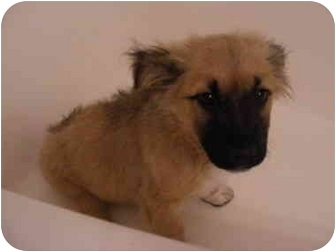 Anatolian Shepherd Mix Puppy for adoption in Rochester, New Hampshire - Jack
