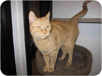 Domestic Shorthair Cat for adoption in Broadway, New Jersey - Autumn