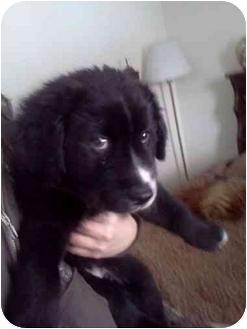 Newfoundland/Labrador Retriever Mix Puppy for adoption in Warsaw, Indiana - Newman
