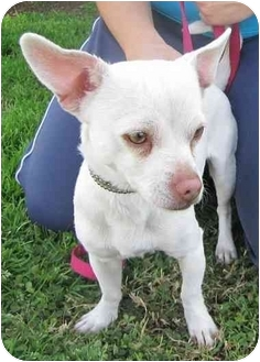 Chihuahua Mix Dog for adoption in West Los Angeles, California - Charlie