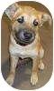 Shepherd (Unknown Type) Mix Puppy for adoption in Olathe, Kansas - Mimi