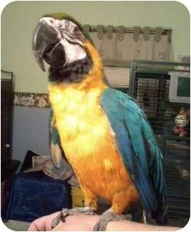 Macaw for adoption in Lenexa, Kansas - Chico