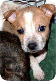 Shar Pei Mix Puppy for adoption in Tucson, Arizona - SureFire