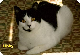 Domestic Shorthair Cat for adoption in Medway, Massachusetts - Libby