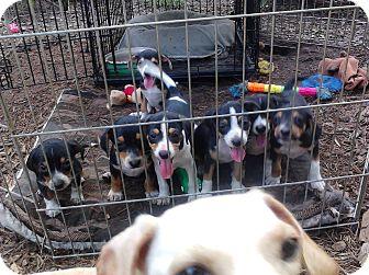 Dachshund Mix Puppy for adoption in Houston, Texas - MADONNA'S SEVEN PUPPIES