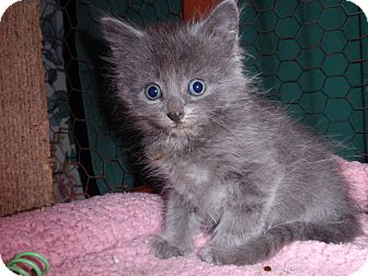 Domestic Mediumhair Kitten for adoption in East Brunswick, New Jersey - Streusel
