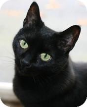 Bombay Cat for adoption in Proctorville, Ohio, Ohio - Jasmine