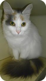 Turkish Van Cat for adoption in Lincolnton, North Carolina - Lilly