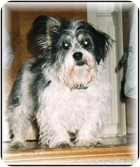 Terrier (Unknown Type, Small)/Lhasa Apso Mix Dog for adoption in Chewsville, Maryland - Skeeter