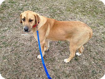 Bullmastiff/Labrador Retriever Mix Puppy for adoption in Hazard, Kentucky - Roxy