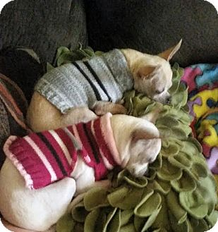 Chihuahua Mix Dog for adoption in Hamburg, Pennsylvania - Boris & Natasha