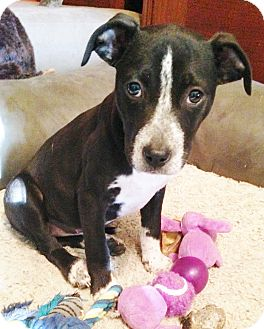 Labrador Retriever/Coonhound Mix Puppy for adoption in Snohomish, Washington - Bianca, sweetest baby lab mix