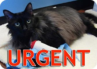 Maine Coon Cat for adoption in Oakland, California - James-URGENT