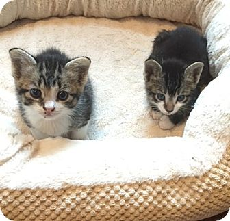 Domestic Shorthair Kitten for adoption in Freeport, New York - Violet, Willow, Max, and Jax