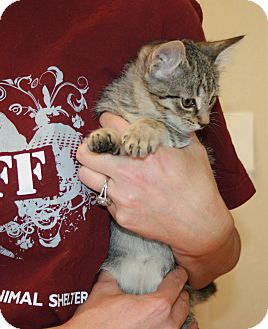 Domestic Shorthair Kitten for adoption in Yucca Valley, California - Katiyana Chukchi Nome