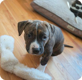 Boxer/Bulldog Mix Puppy for adoption in Newark, Delaware - Clem