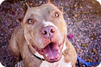 American Staffordshire Terrier/Mastiff Mix Dog for adoption in Phoenix, Arizona - Daddy