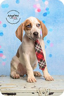 English (Redtick) Coonhound/Beagle Mix Puppy for adoption in Cincinnati, Ohio - Lil Sebastian
