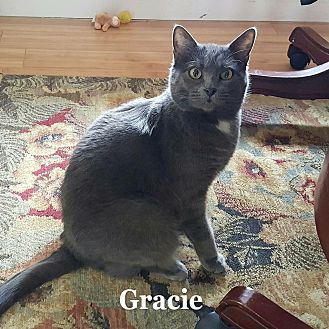 Domestic Shorthair Cat for adoption in Bentonville, Arkansas - Gracie