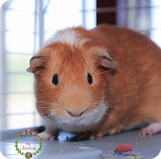 Guinea Pig for adoption in Sierra Vista, Arizona - Chompers