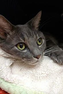 Domestic Mediumhair Cat for adoption in Miami, Florida - Pudgy the Cat*