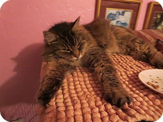 Domestic Longhair Cat for adoption in Coos Bay, Oregon - Ms. Piggy