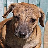 Dachshund Mix Dog for adoption in Phoenix, Arizona - Diana