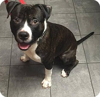 Labrador Retriever/Pit Bull Terrier Mix Dog for adoption in Hartford, Connecticut - Max