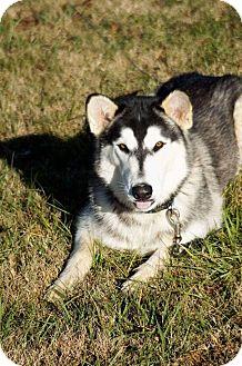 Alaskan Malamute Dog for adoption in Columbia, Tennessee - Achilles