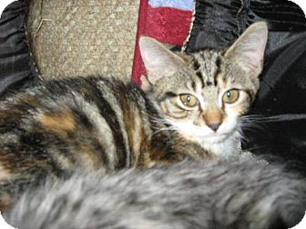 Calico Kitten for adoption in Walnutport, Pennsylvania - Nora