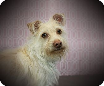 Terrier (Unknown Type, Small) Mix Dog for adoption in Los Angeles, California - EGGNOG (video)