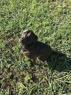 Labrador Retriever/American Pit Bull Terrier Mix Dog for adoption in Rowlett, Texas - Lorenzo
