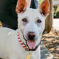 Shar Pei Mix Dog for adoption in Pt. Richmond, California - BLANCA