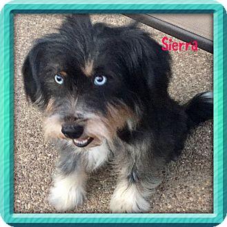 Schnauzer (Standard)/Poodle (Standard) Mix Dog for adoption in KITTERY, Maine - SIERRA