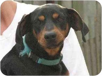 Manchester Terrier/Miniature Pinscher Mix Dog for adoption in STREETSBORO, Ohio - HUNTER