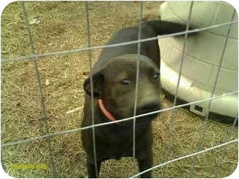 Labrador Retriever Mix Dog for adoption in Emory, Texas - Pinky