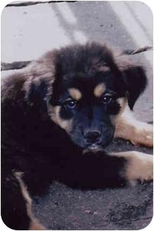 Australian Shepherd Mix Puppy for adoption in Owatonna, Minnesota - Ace