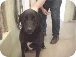 Labrador Retriever Mix Dog for adoption in Gladwin, Michigan - Boss