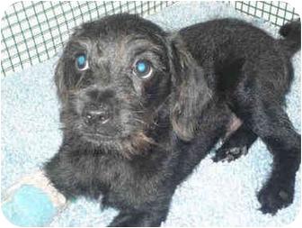 Miniature Schnauzer Mix Puppy for adoption in San Clemente, California - SIMON