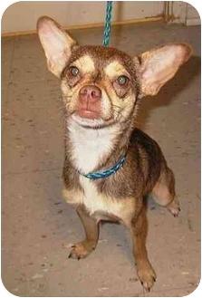 Chihuahua/Miniature Pinscher Mix Dog for adoption in West Warwick, Rhode Island - Chippy Clark - Pending