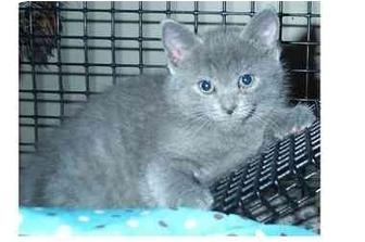 Domestic Shorthair Kitten for adoption in Acme, Pennsylvania - Romey