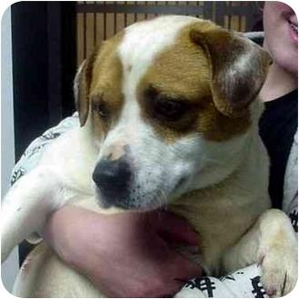 Bulldog/Beagle Mix Dog for adoption in Manassas, Virginia - Rooster