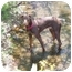 Photo 2 - Doberman Pinscher Puppy for adoption in Arlington, Virginia - Ramsey