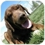 Photo 4 - Coonhound/Labrador Retriever Mix Dog for adoption in Meridian, Idaho - Rocky