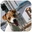 Photo 2 - Rat Terrier Dog for adoption in Meridian, Idaho - Sheena