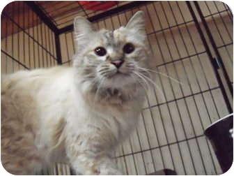 Himalayan Cat for adoption in Irvine, California - Meira