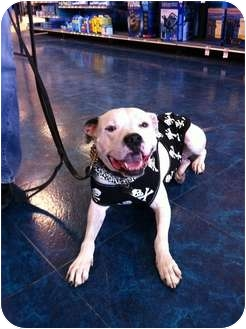 American Pit Bull Terrier Dog for adoption in Vernon Hills, Illinois - Casey