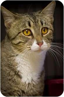 Domestic Shorthair Cat for adoption in Bulverde, Texas - Sprint